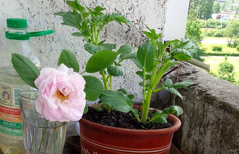 Роза и картошка